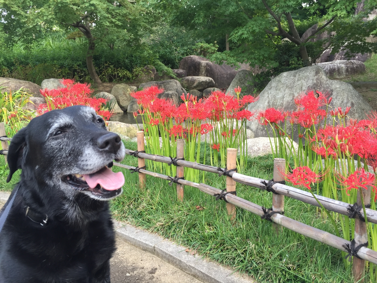 彼岸花が綺麗に咲いていました