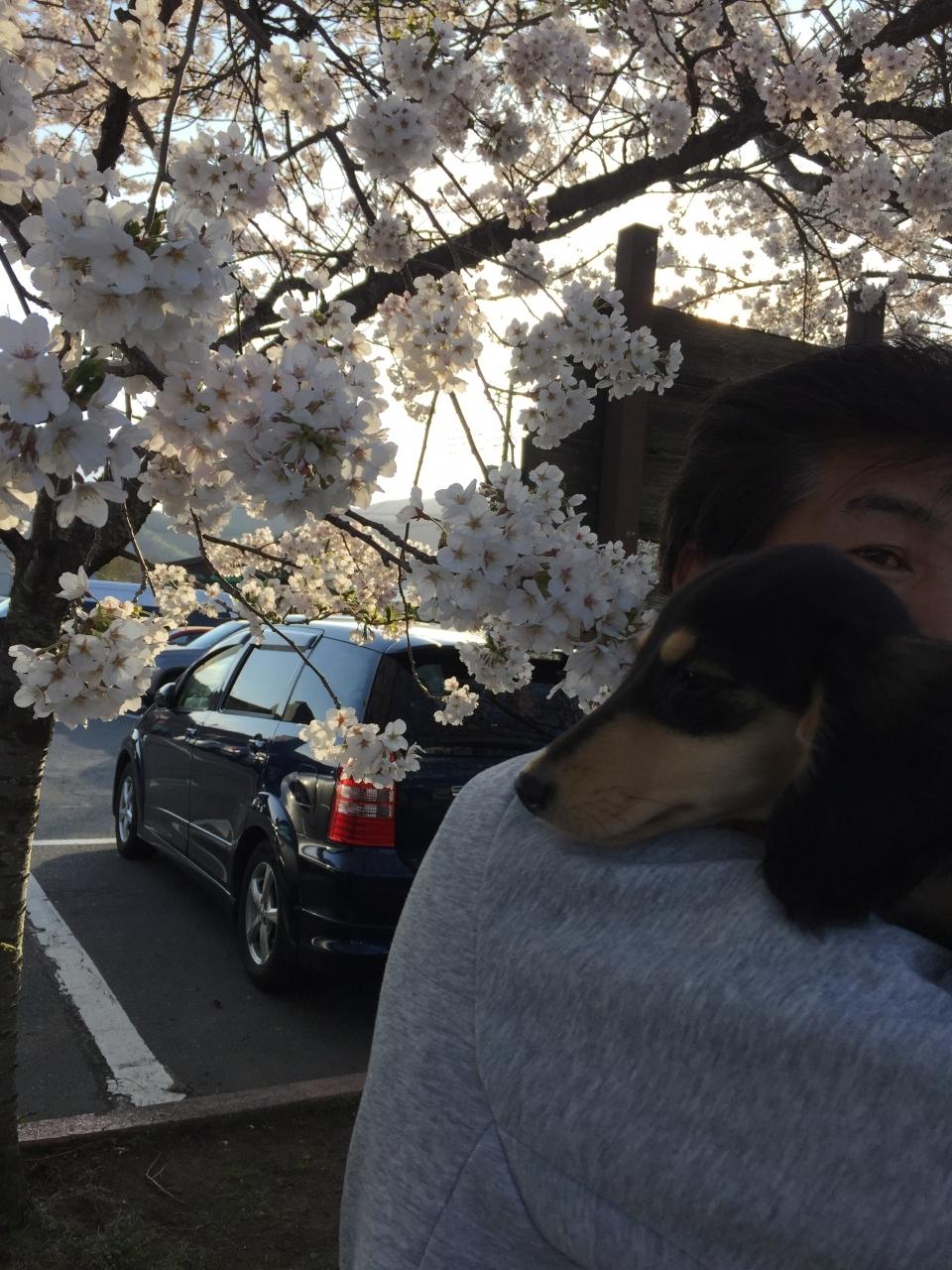桜が満開に