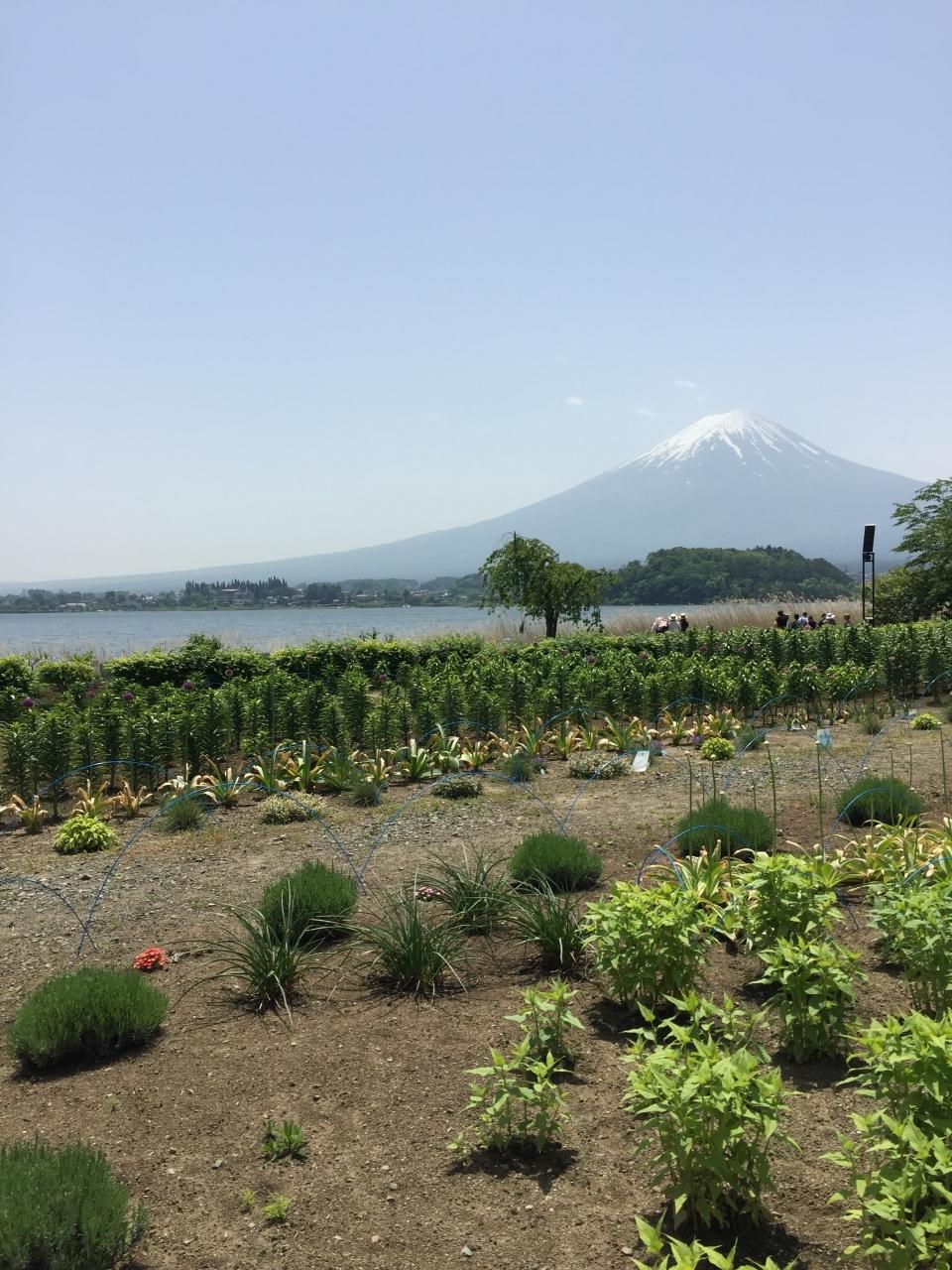 富士山とお花畑 今からラベンダーが咲きます